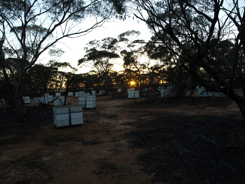 Sunrise in the Mallee