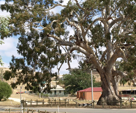 The Red Gum tree @ Guildford