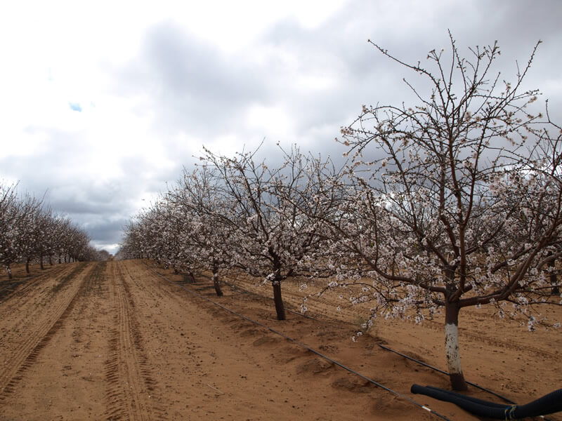 Almonds in August